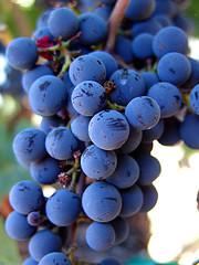 grapefestival